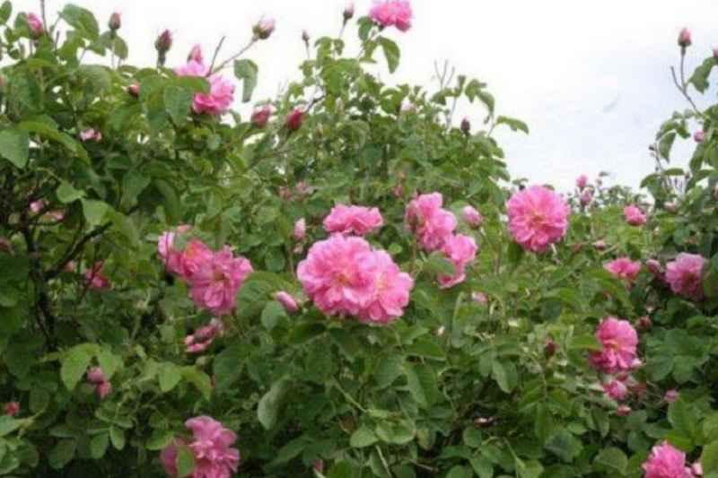 برداشت گل محمدی از گلستان های فیروزکوه آغاز شد