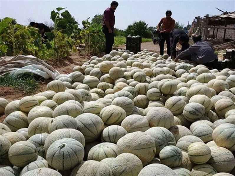طالبی کاران دره شهر چهار هزار و 500 تن محصول برداشت می کنند